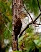 Hawk In Natural S...