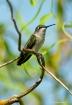 Hummingbird in Wi...