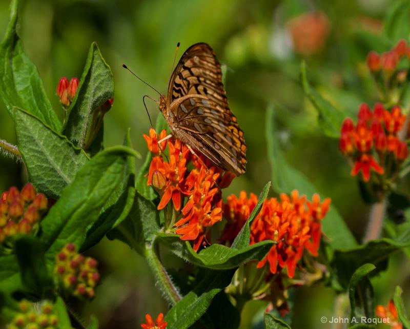 mg 0146 Fritillary on Butterfly Milkweed - ID: 13035859 © John A. Roquet