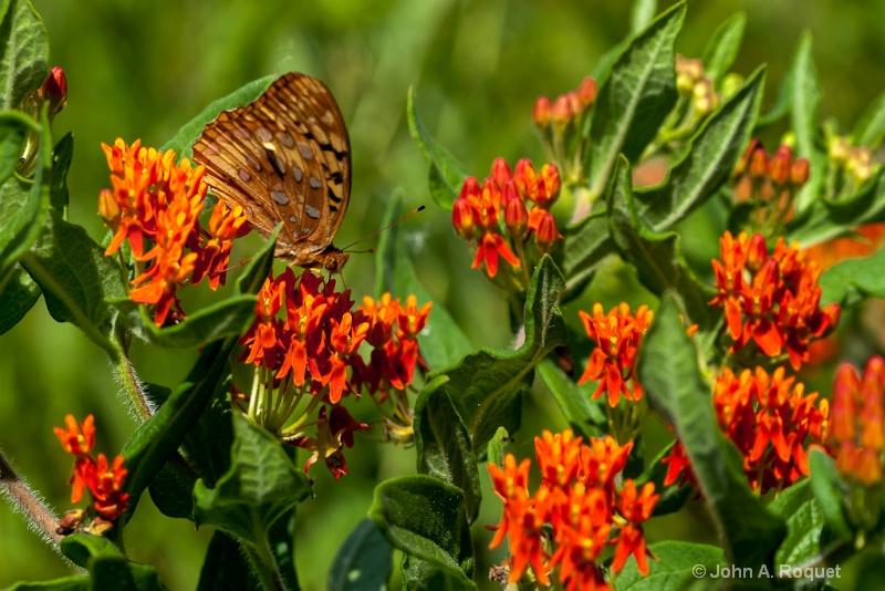 mg 0152 Fritillary on Butterfly Milkweed - ID: 13035860 © John A. Roquet