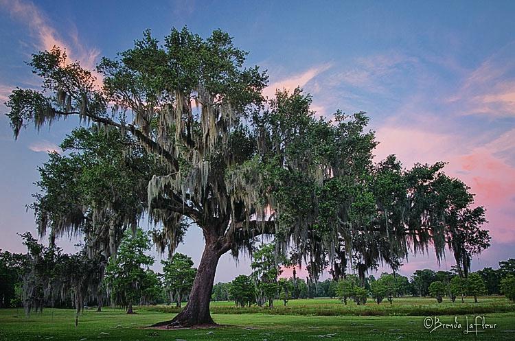 Graceful Oak - ID: 13039413 © Brenda W. LaFleur