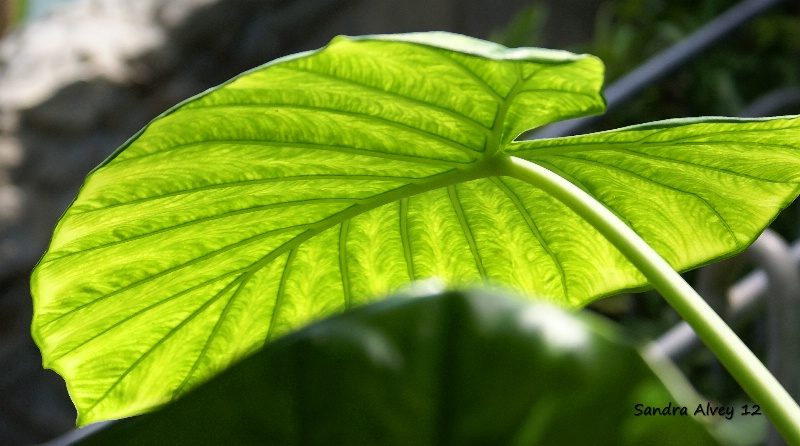 Leaves in the Sun I