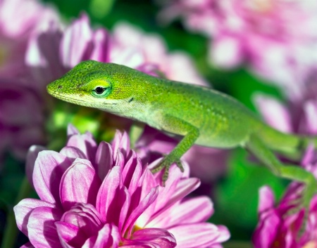 Green Anole              060812