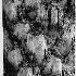© John D. Roach PhotoID# 13054364: Palm Tree--black and white conversion