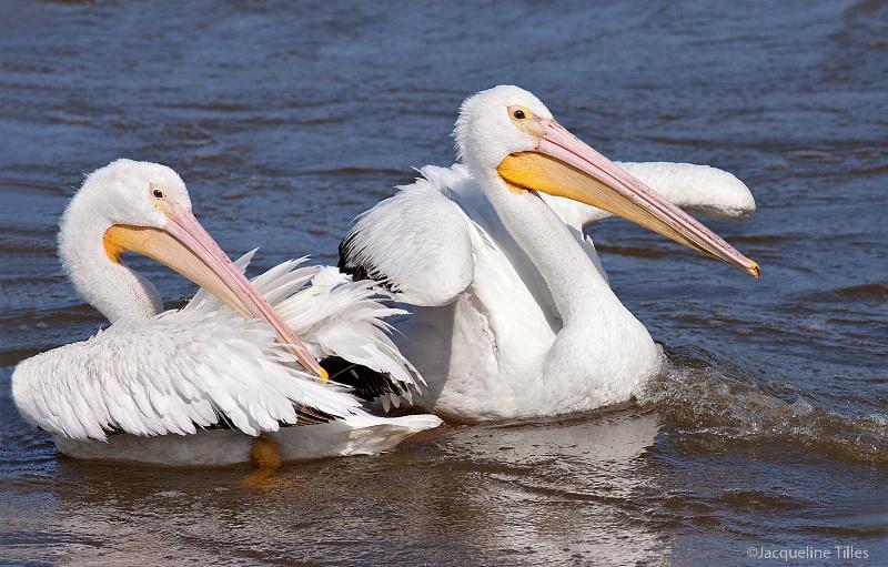American White Pelicans - ID: 13057277 © Jacqueline A. Tilles