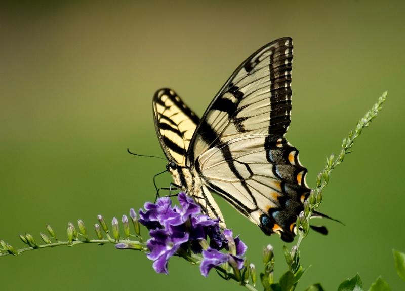 Tiger Swallowtail 2 - ID: 13066553 © Michael Cenci