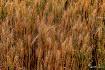 Rice plants Ripen...