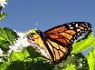 Sky High Monarch