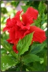 A Red Hibiscus!
