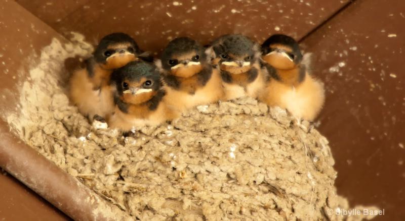 Angry Baby Birds - ID: 13109249 © Sibylle Basel
