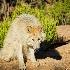 2focused wolf - ID: 13112656 © Gary W. Potts