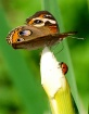 Redneck Ladybug