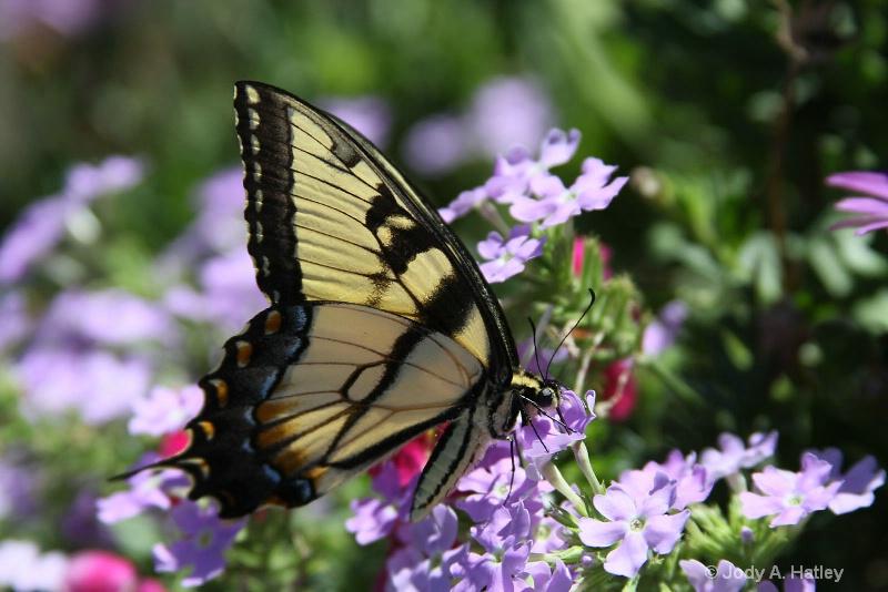 Tiger Swallowtail Butterfly - ID: 13116826 © Jody A. Hatley