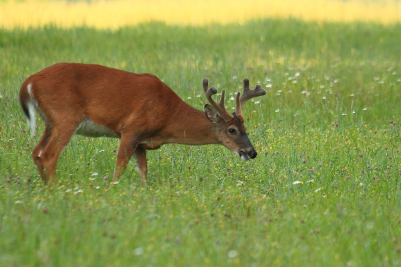 White Tail, Great Smoky Mountains N.P., 5.27.12 - ID: 13119116 © Michael S. Couch