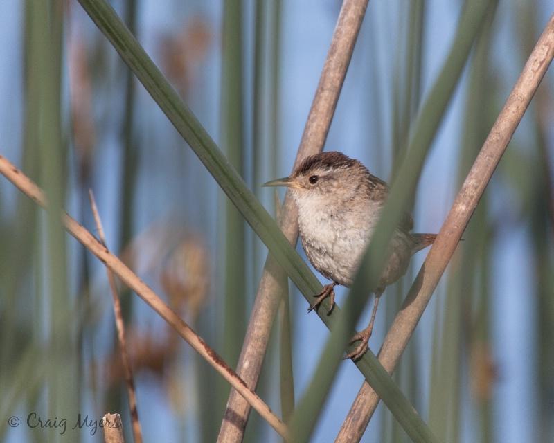 Marsh Wren - ID: 13134364 © Craig W. Myers