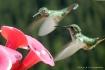 Hummingbirds at F...
