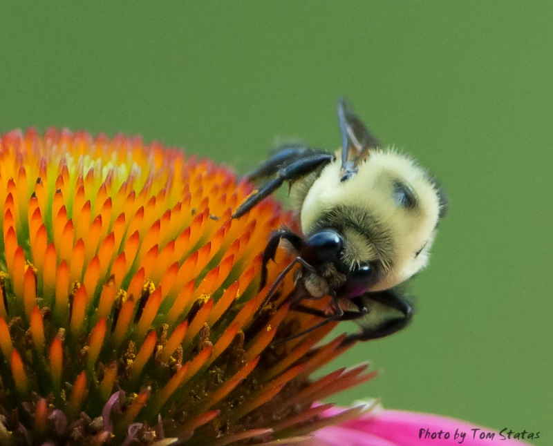 Bee at Brookside - ID: 13146853 © Thomas  A. Statas
