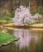 Weeping Cherry Tr...