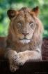 Lion Cub growing ...