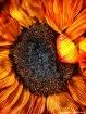 Sunflower in Summ...