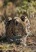 Leopard 1204