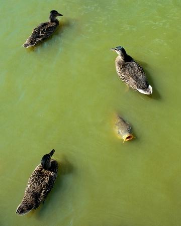 Duck, duck, duck... fish?
