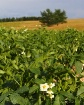 ~Potato Blossom~