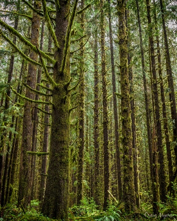 Hoh Rainforest - Olympic NP