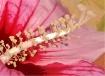 Hibiscus Art