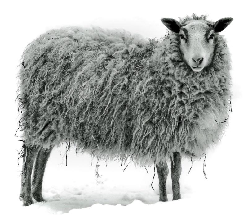 Shivering Sheep