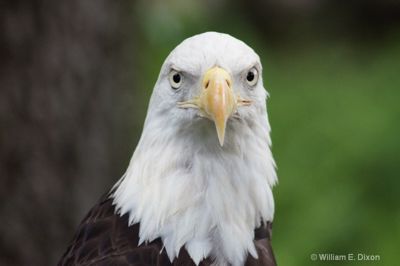 Bald Eagle Portrait - ID: 13236301 © William E. Dixon