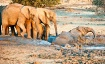 Elephants frolick...