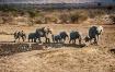 Elephant herd com...