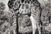 Giraffe body in B...