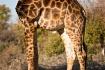 Giraffe body