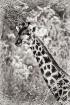 Giraffe neck, B&W