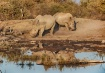 Rhinos reflected