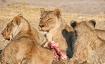 Lions finishing t...