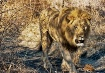 Male lion on the ...