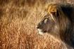 Male lion gazing ...