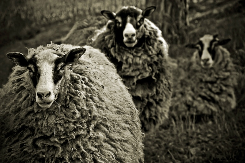 A series of Sheep