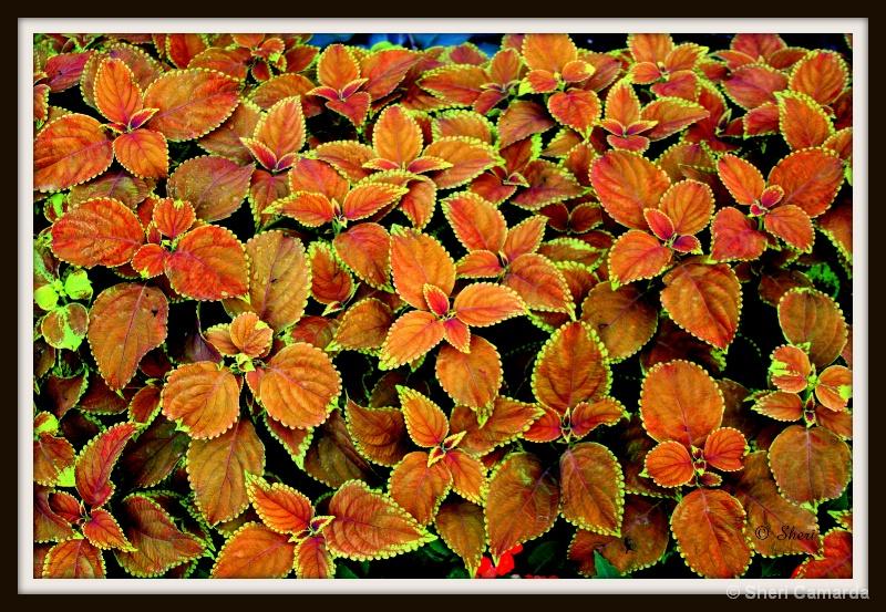 Leaves Aglow - ID: 13246299 © Sheri Camarda