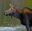 Moose slobbers