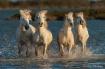 Camargue Horses 1...