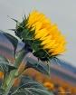 Today's Sunfl...