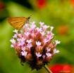 The Little Moth