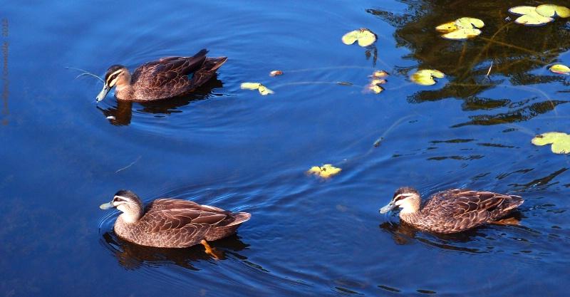 * Ducks & Lily Pads #2 *<p>