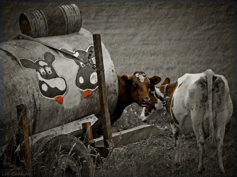 Cow language