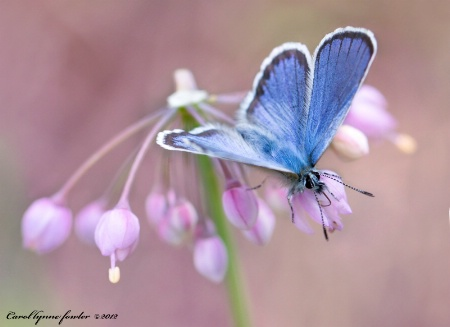 Photography Contest Grand Prize Winner - September 2012: Common Blue