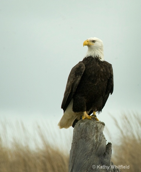 Eagle 101 - ID: 13354493 © Kathy K. Whitfield